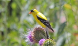 American_Goldfinch.JPG