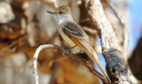 Ash-throated_Flycatcher.JPG