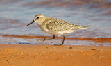 Baird_s_Sandpiper_20_Sand_Hollow_SP2C_Washington_county2C_Utah_92320.JPG
