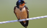 Barn_Swallow_56.JPG