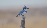 Belted_Kingfisher_51.JPG