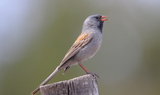 Black-chinned_Sparrow_96.JPG
