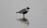 Black_bellied_Plover_76.JPG