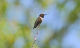 Black_chinned_Hummingbird_7.JPG