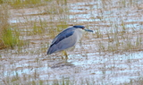 Black_crowned_night_heron_1.JPG