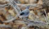 Black_tailed_Gnatcatcher_3.JPG