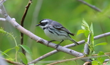 Black_throated_Gray_Warbler.JPG
