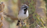 Black_throated_Sparrow_92.JPG