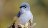 Blue-gray_Gnatcatcher_92.JPG