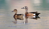 Blue_winged_Teal_6.JPG
