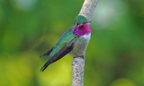 Broad_tailed_Hummingbird_32.JPG