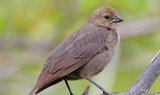 Brown_headed_Cowbird_Female_22.JPG