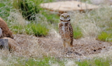 Burrowing_owl_3.JPG