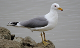 California_Gull_1.JPG