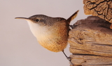 Canyon_wren_13.JPG