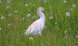 Cattle_Egret_38.JPG
