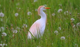 Cattle_Egret_39.JPG