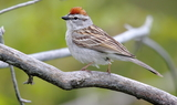 Chipping_Sparrow_42.JPG