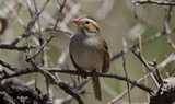 Clay_colored_Sparrow_Texas_42521.JPG
