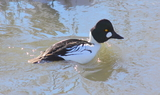 Common_Goldeneye_15.JPG
