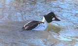 Common_Goldeneye_16.JPG