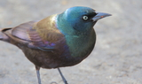 Common_Grackle_13.JPG