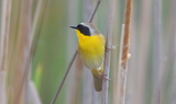 Common_Yellowthroat_77.JPG