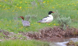Common_merganser_57.JPG