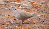 Eurasian_collared_dove.JPG