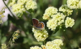 Female--Upperside--Bountiful_Peak2C_Davis_County2C_Utah2C_August_62C_2011.JPG