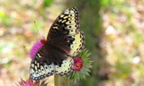 Female--Upperside--Reid_Ranch2C_Near_Fruitland2C_Duschesne_County2C_Utah2C_August_22C_2013.JPG