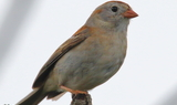 Field_Sparrow_12_Texas_42321.JPG