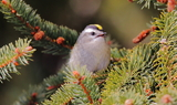 Golden_crowned_Kinglet_3.JPG