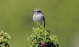 Gray_Flycatcher_15.JPG