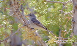 Gray_Flycatcher_84.JPG