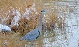 Great_Blue_Heron_12.JPG