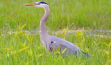 Great_Blue_Heron_23.JPG