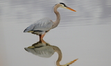 Great_Blue_Heron_54.JPG