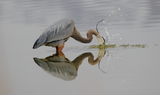 Great_Blue_Heron_55.JPG