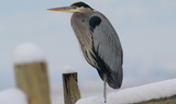 Great_Blue_Heron_81.JPG