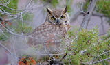 Great_Hordned_Owl_32~1.JPG
