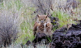 Great_Horned_Owl_34.JPG
