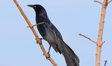 Great_tailed_Grackle_1.JPG