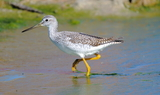Greater_Yellowlegs_21.JPG