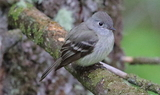 Hammonds_Flycatcher_78.JPG
