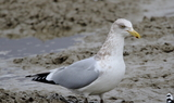 Herring_Gull_2.JPG