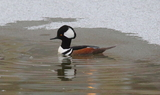 Hooded_Merganser_54.JPG