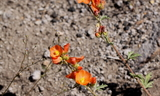 Host_Plant--Tintic_Mountain_Loop2C_Utah_County2C_Utah2C_June_252C_2011.JPG