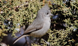 Juniper_Titmouse_29.JPG