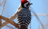 Ladder_backed_Woodpecker_1.JPG